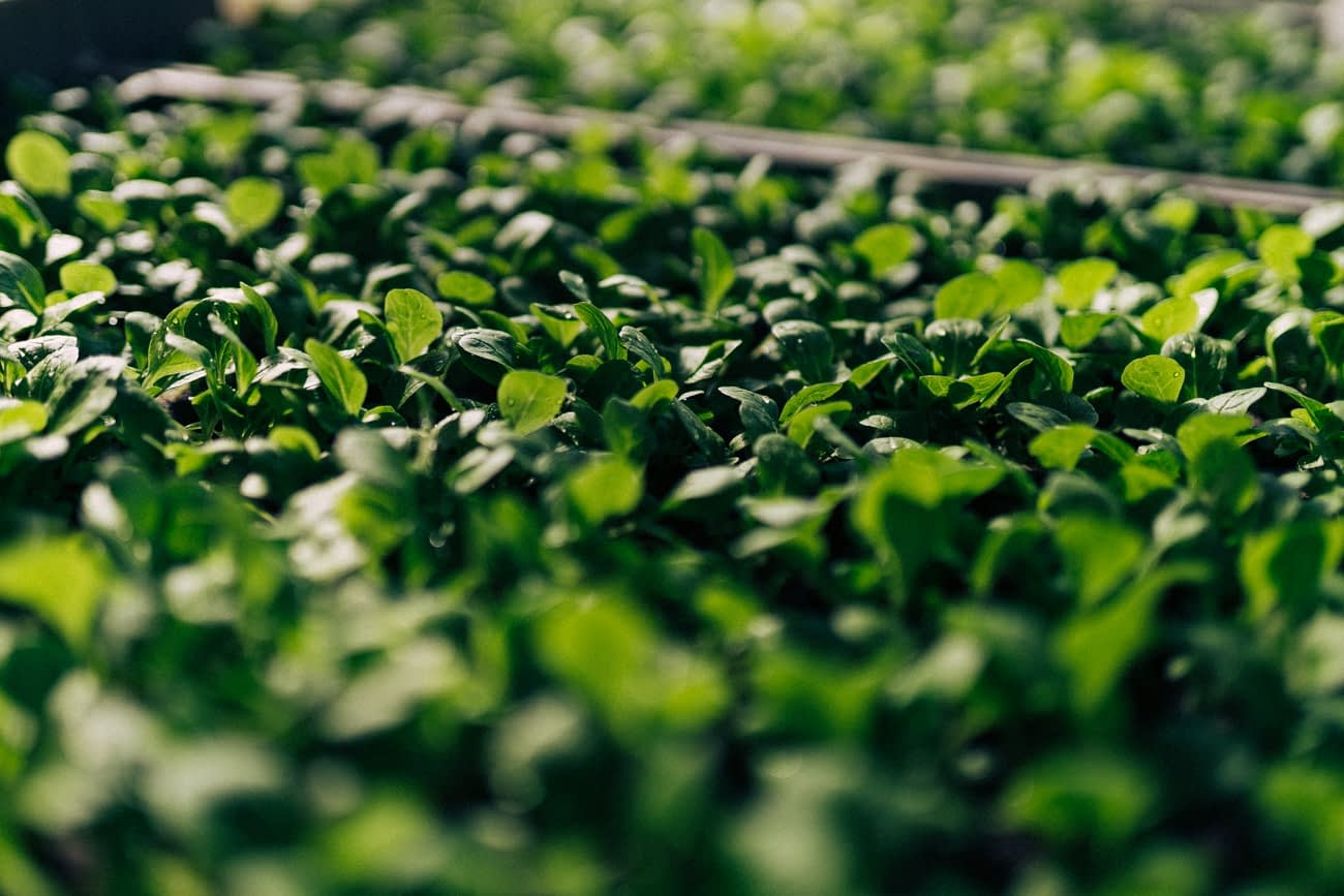 wirgarten_anbauplanung_jungpflanzen